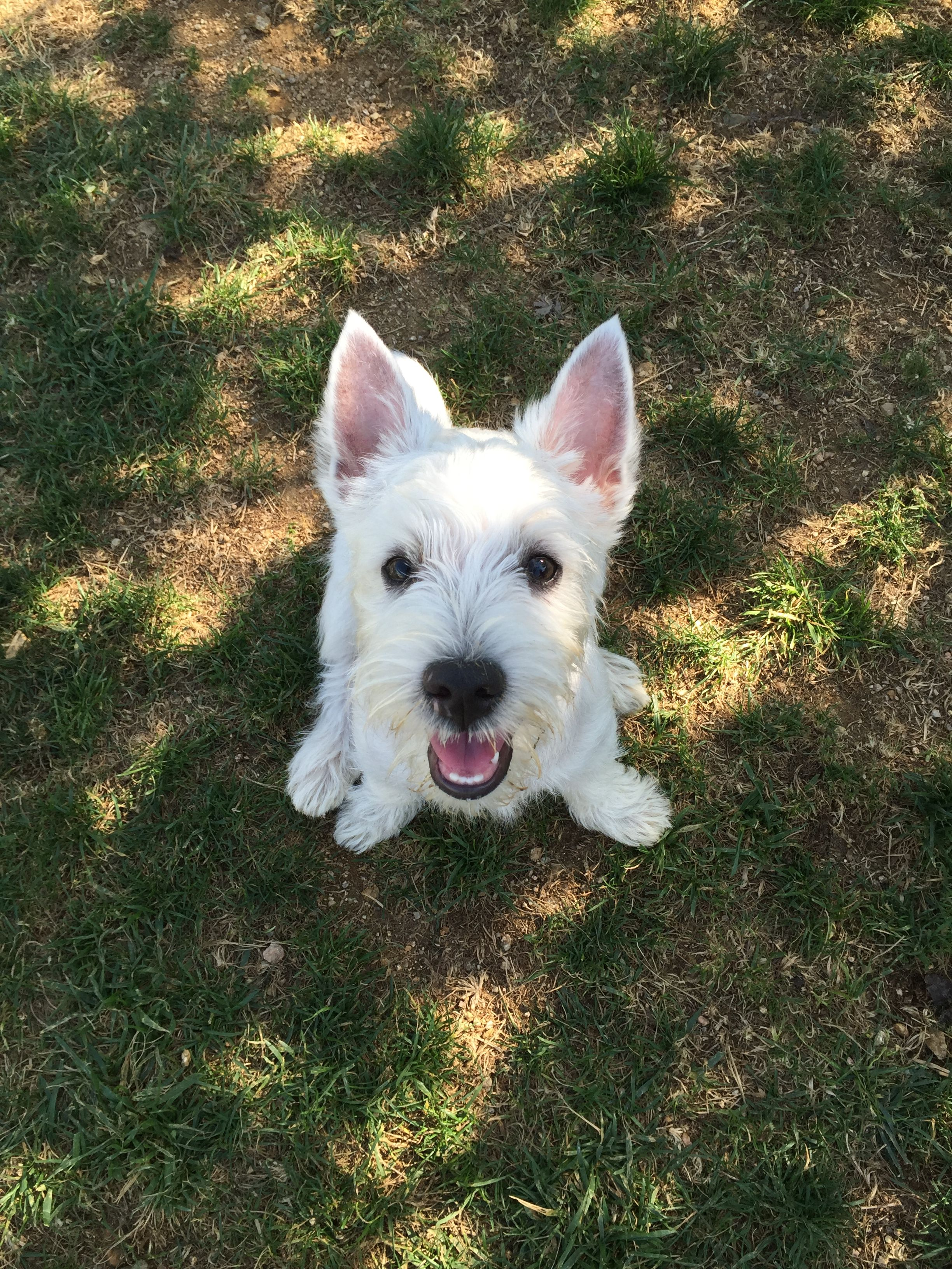 Pin by Waverly Mayer on Puppies!!! Westie puppies, Puppy