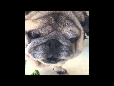 Desertrose Pug Eats Some Broccoli Youtube Pugs Pug Gifs