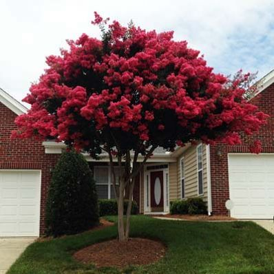 Lagerstroemia Indian Summer Crepe Myrtle Trees And