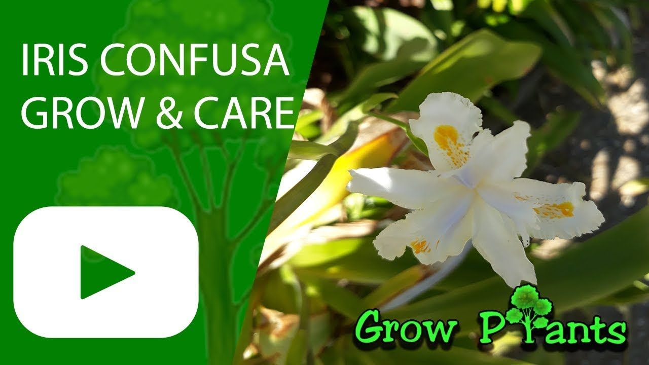 Iris Confusa Flower How To Grow Bamboo Iris Plant Information Climate Hardiness Zone Uses Growth Speed Water Growing Bamboo Plant Information Growing