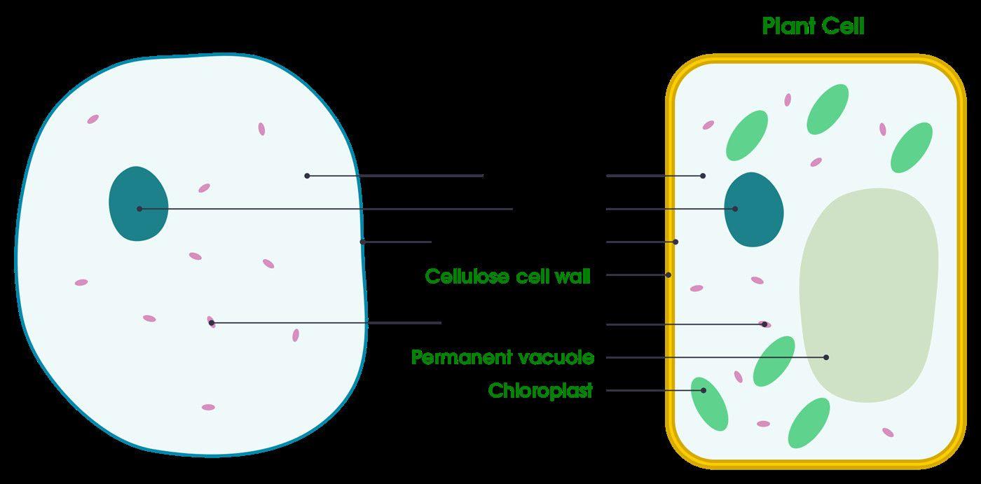 Animal Vs Plant Cell Diagram Luxury Plant Cell Vs Animal ...