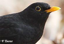 Nabu Stunde Der Gartenvogel Steckbrief Amsel Vogel Im Garten