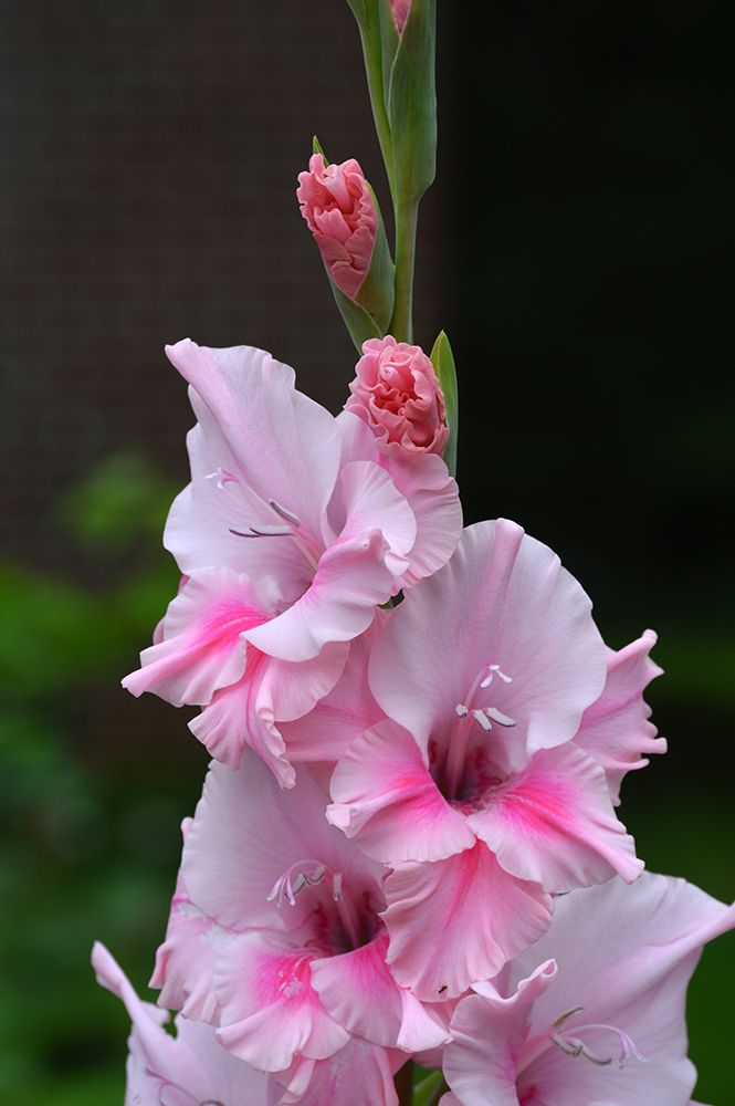 How To Keep Gladiolus Flowers From Falling Over Gladiolus Flower Gladiolus Birthday Month Flowers