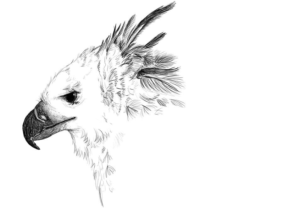 Harpy Eagle Sketch By Golden Plated Aves De Rapina Aves Desenhos