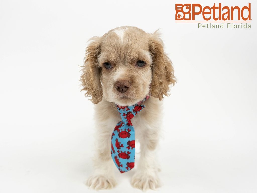 Petland Florida Has Cocker Spaniel Puppies For Sale Check Out All Our Available Puppies Cockerspaniel Petla Spaniel Puppies For Sale Puppy Friends Puppies