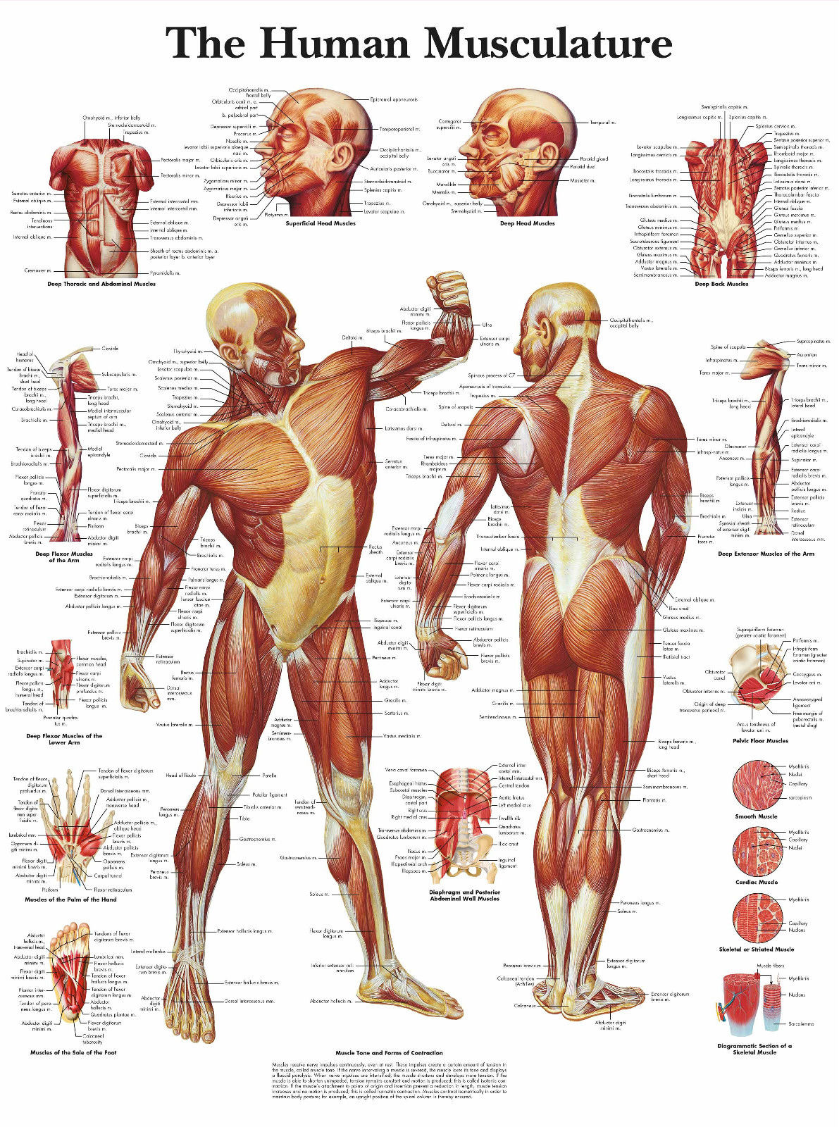 A3 Medical Poster - The Human Muscle Layout (Text Book Anatomy ...