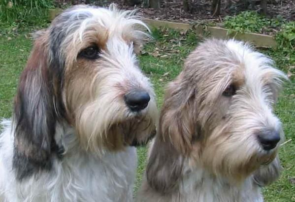 Grand Griffon Vendeen Dog Breeds Unusual Dog Breeds Dogs Puppies