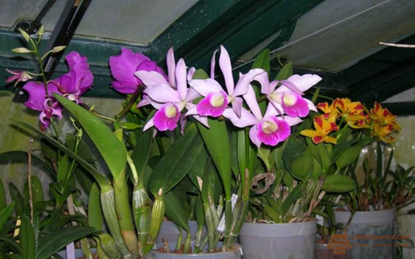 Why Are Orchids So Expensive Flower Delivery Singapore Orchid Roots Flower Delivery Orchids