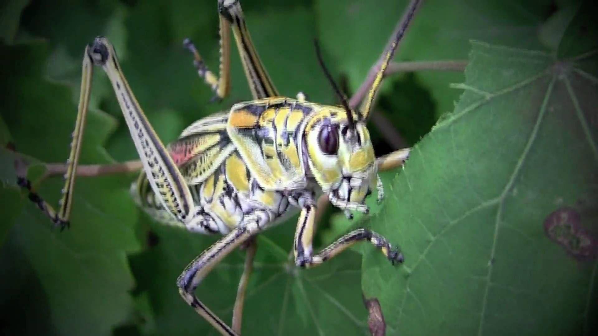 Grasshopper World Up Close And Personal Grasshopper