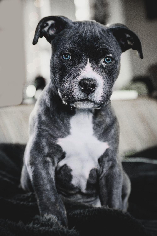 Envyavenue Blue Nose Pitbull Mit Bildern Pitbull Welpen Susseste Haustiere Niedliche Welpen