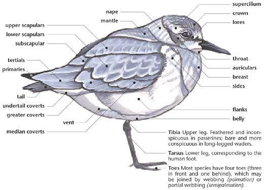 Swartzentrover.com   External Anatomy of a Bird   Seabirds ...