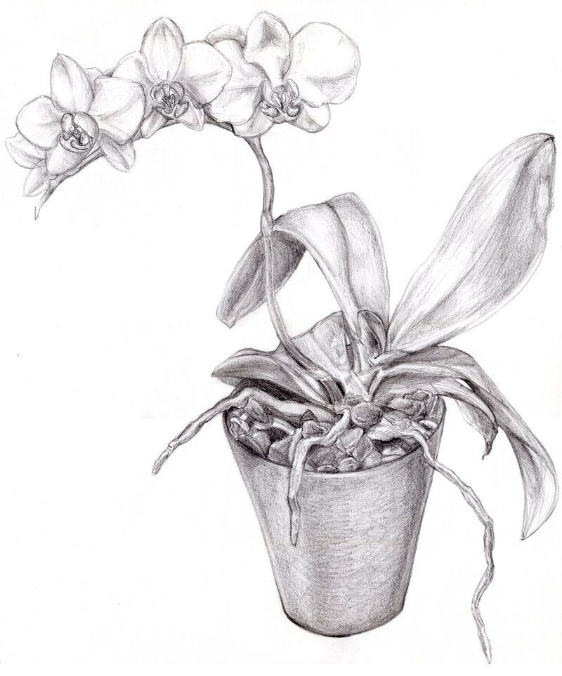 Orchid drawing | ceramics | Orchid drawing, Pencil ...  Orchid drawing ...