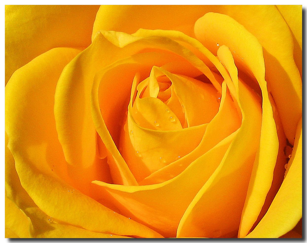 Yellow Rose Flowers Pictures Flowers Wallpapers Red Roses