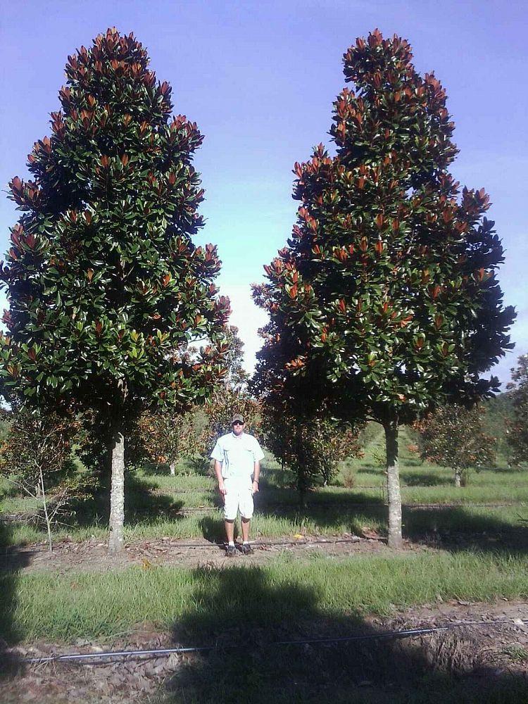 Magnolia Grandiflora Dd Blanchard Google Search Landscaping In