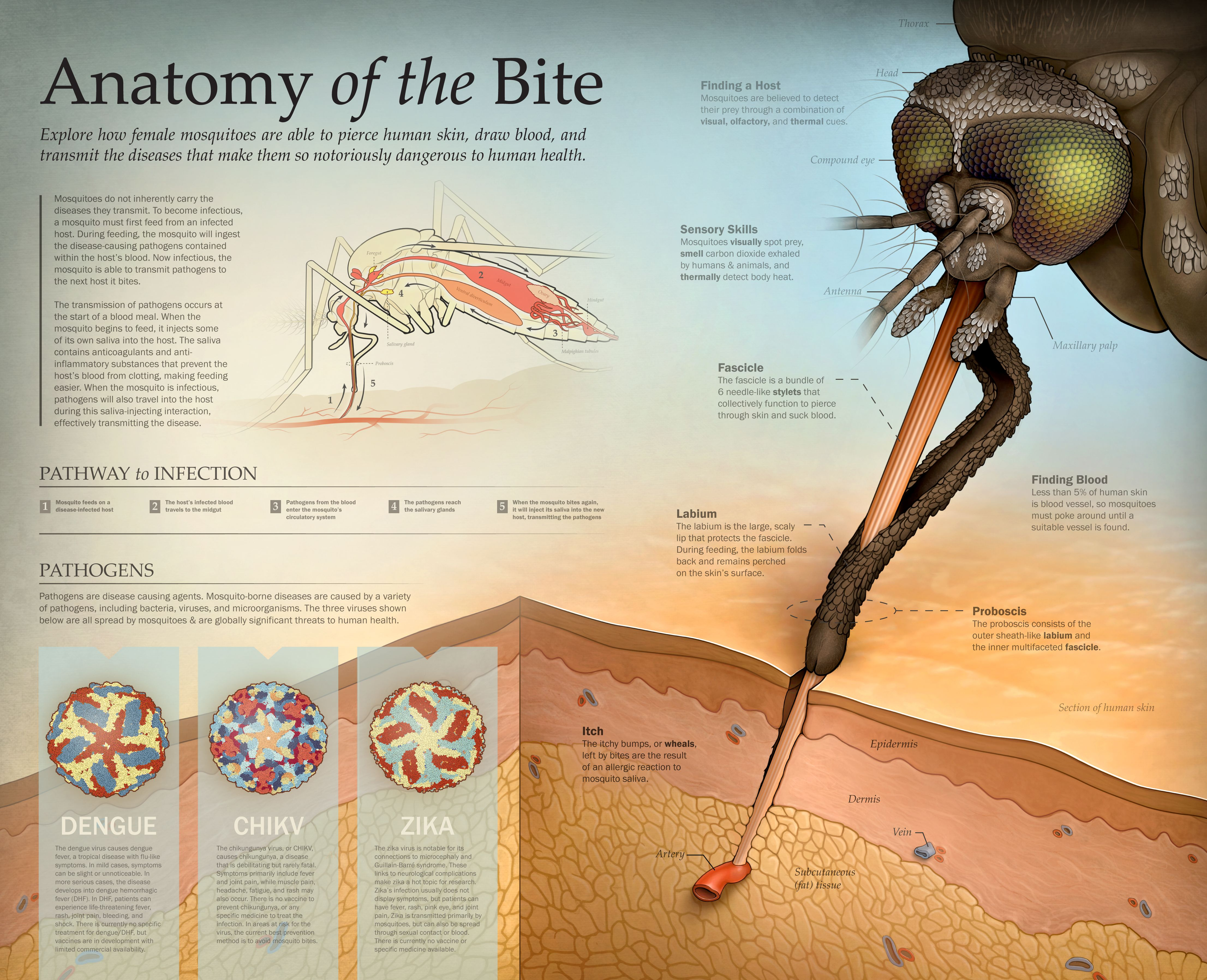 Mosquito Bite Diagram