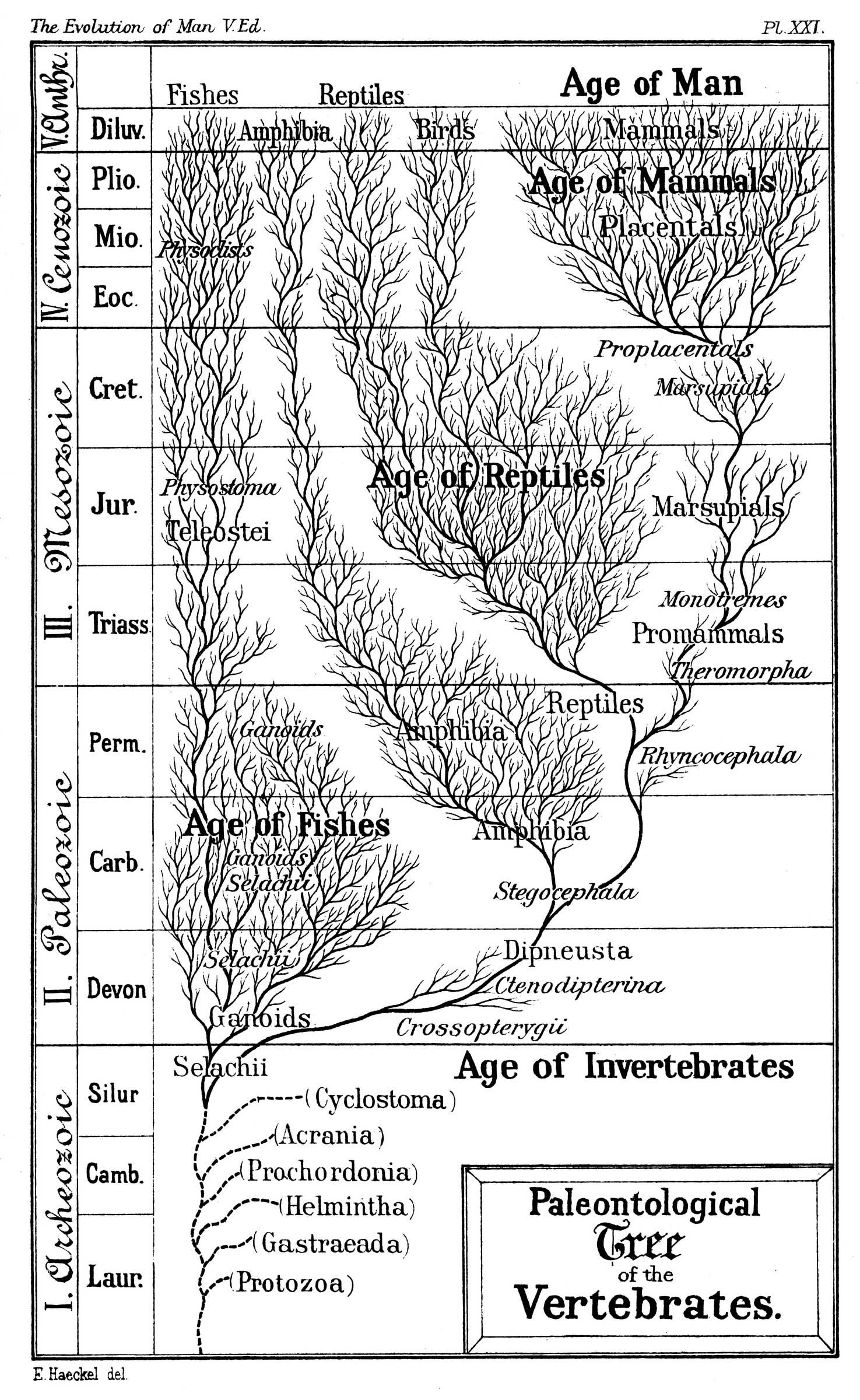Haeckel S Paleontological Tree Of Vertebrates C