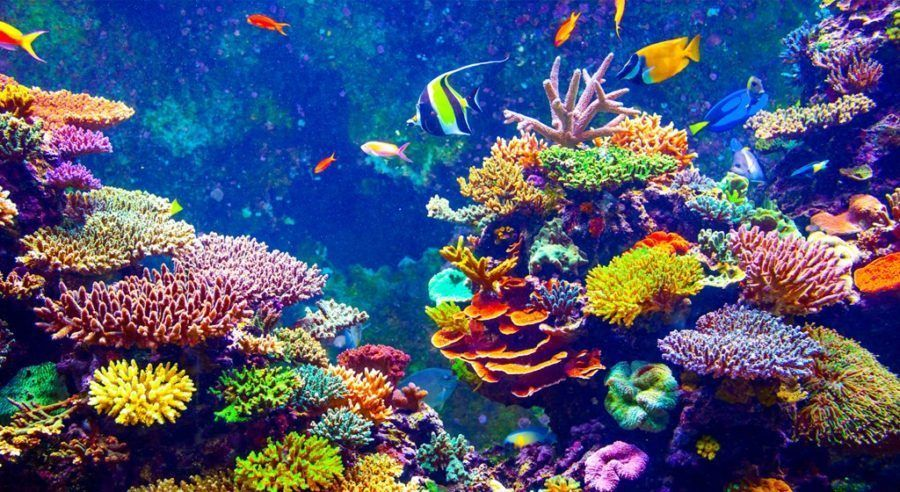 Probiotics Might Save World S Endangered Coral Reefs