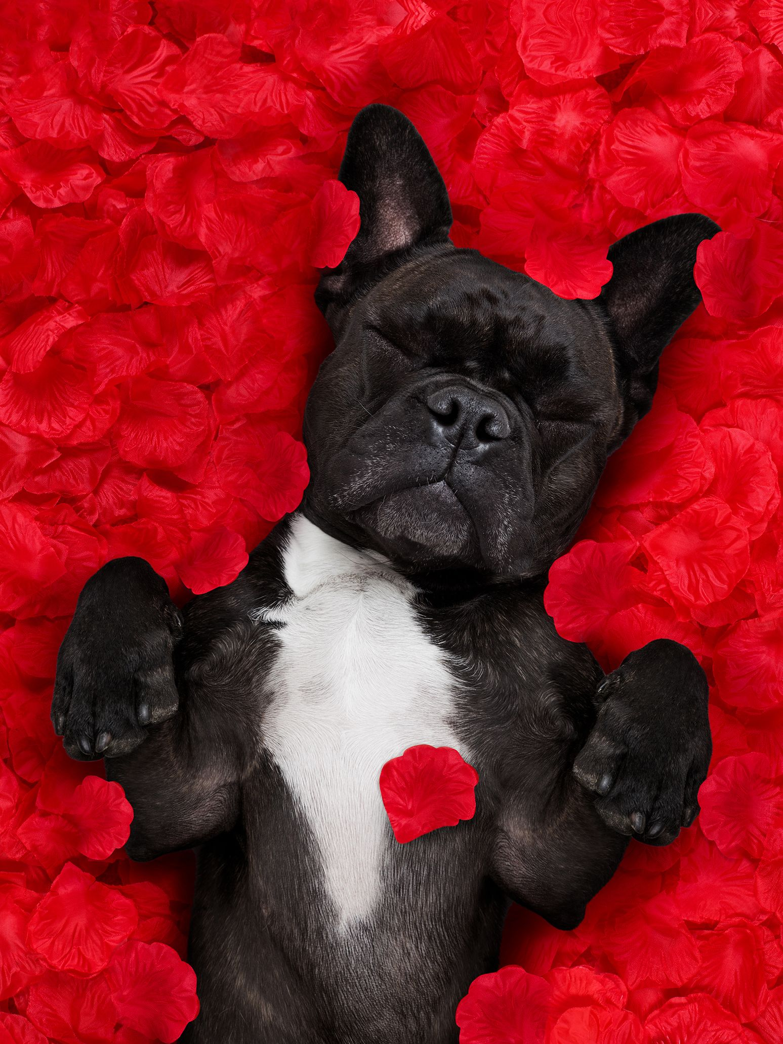 Valentine S Day Loading Your Pet Bulldog