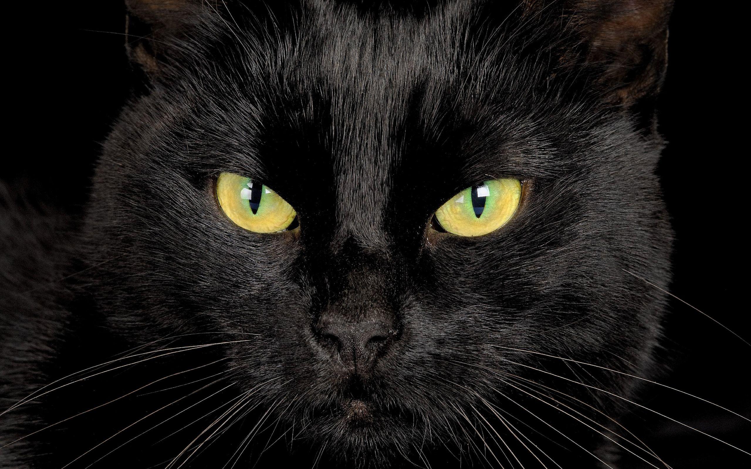 black cat eyes wallpapers hd free 301594 ai i mi a ae n a n m i n a