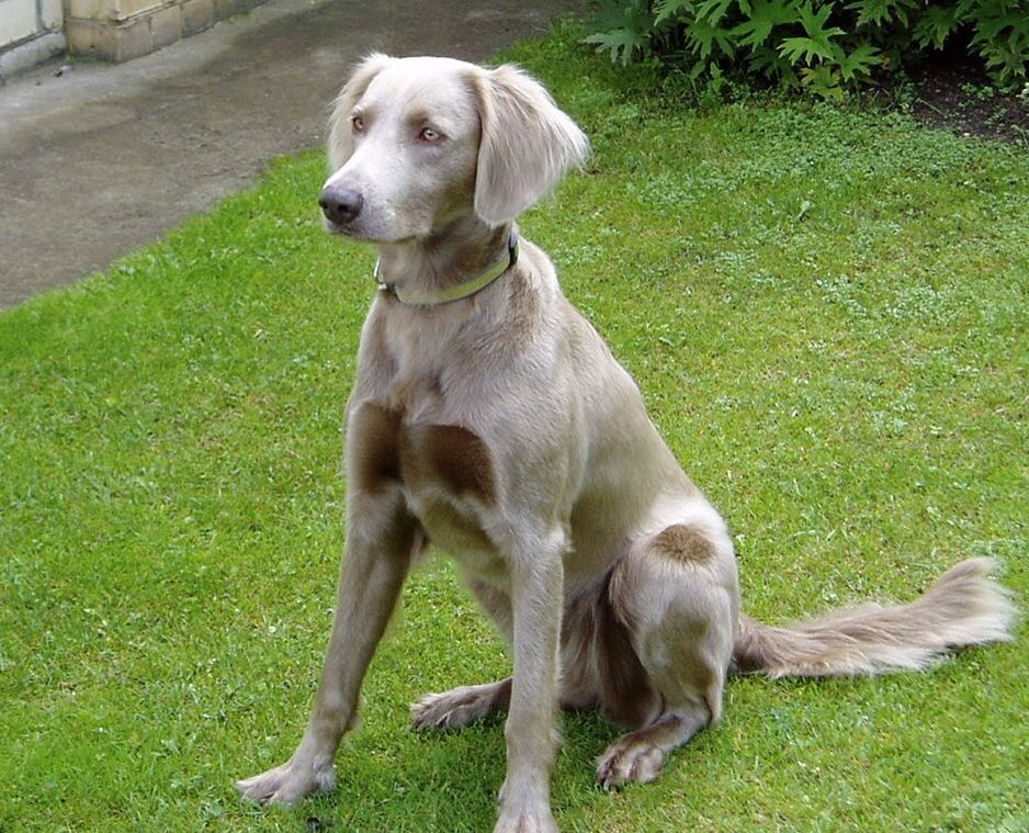 I Love The Silver Coat Of The Weimaraner And In The Wire Haired