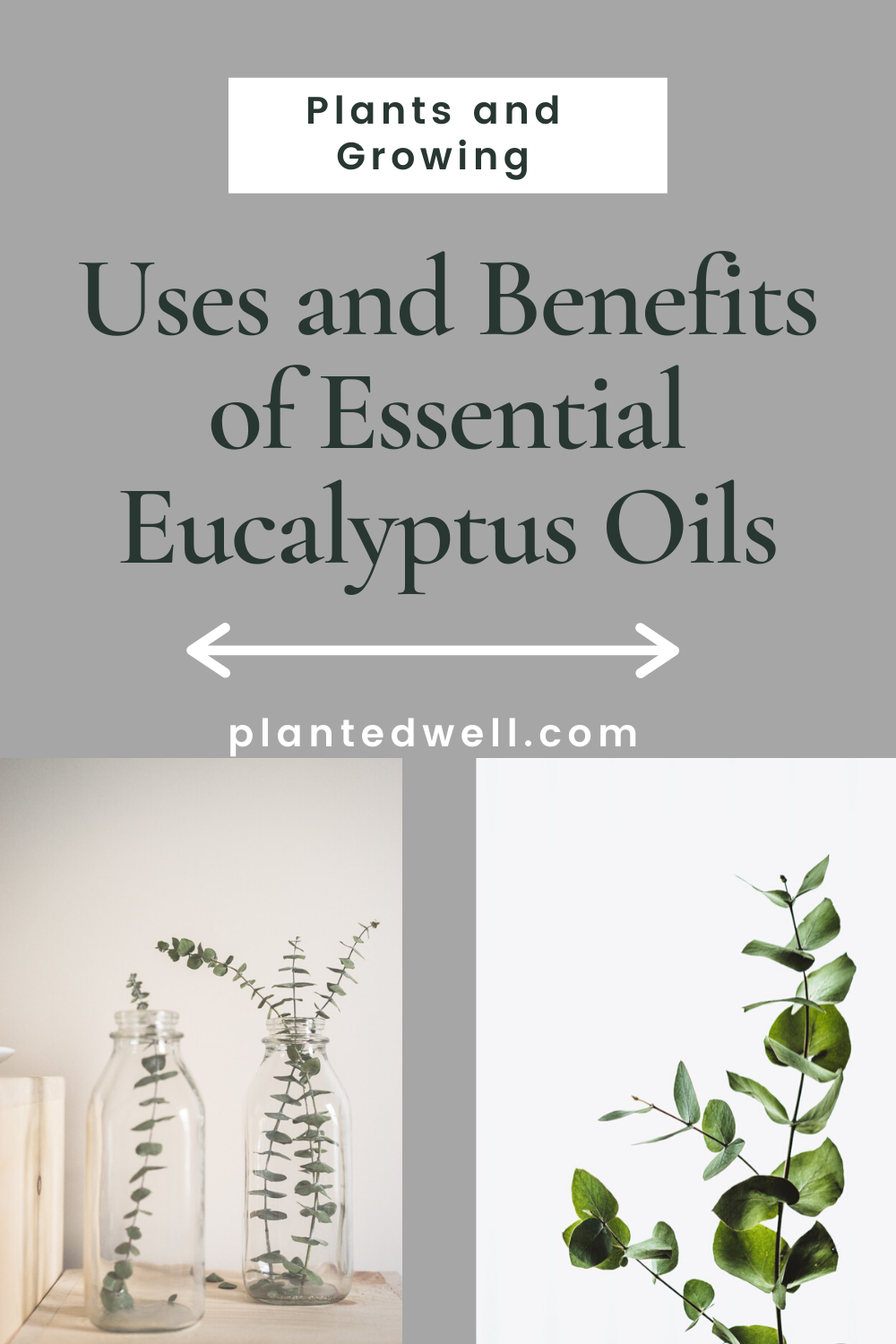 Uses And Benefits Of Essential Eucalyptus Oils In 2020 Eucalyptus Oil Types Of Tea Eucalyptus Oil Benefits