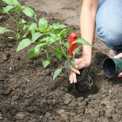 nutzgarten die besten gartentipps im m rz garten pinterest paprika pflanzen paprika und. Black Bedroom Furniture Sets. Home Design Ideas