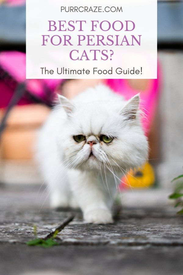 What Food Do Persian Cats Eat? The Ultimate Food Guide! | Purr Craze