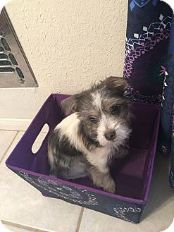 Victorville Ca Yorkie Yorkshire Terrier Yorkie Yorkshire Terrier Mix Meet Oreo A Puppy For Adoption Yorkshire Terrier Puppy Adoption Terrier