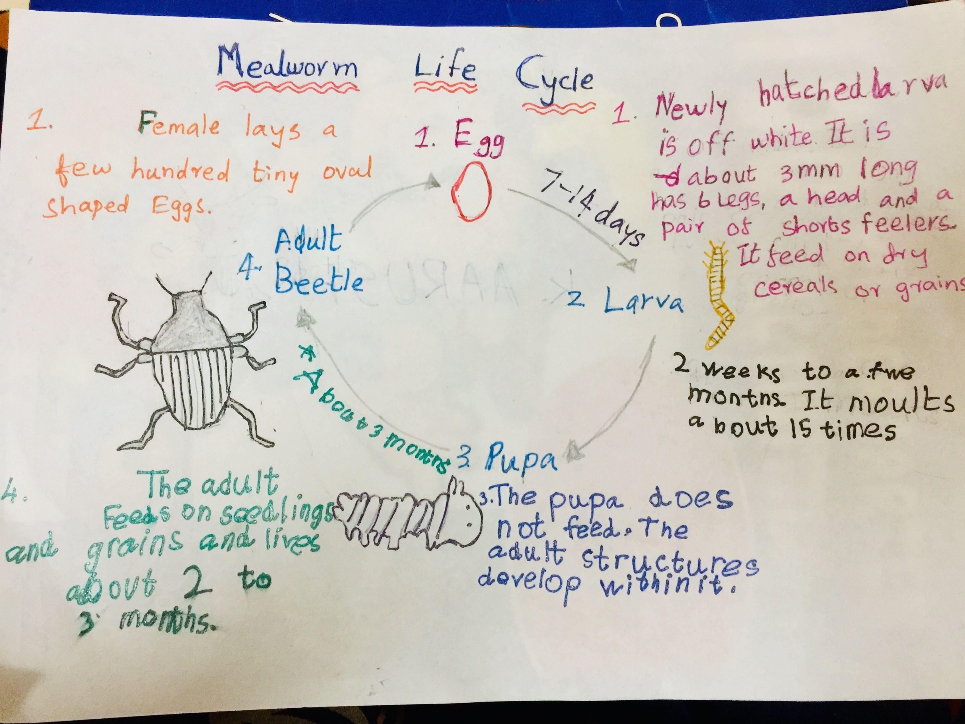 Life Cycle Of Mealworm