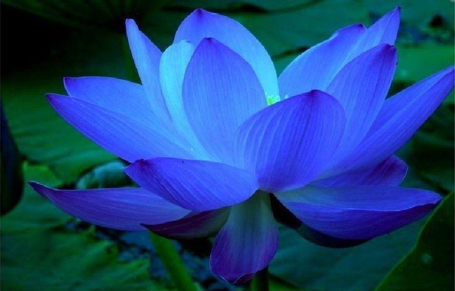 20pcs Blue Lotus Seeds Water Lily Pad Nymphaea Nelumbo Nucifera