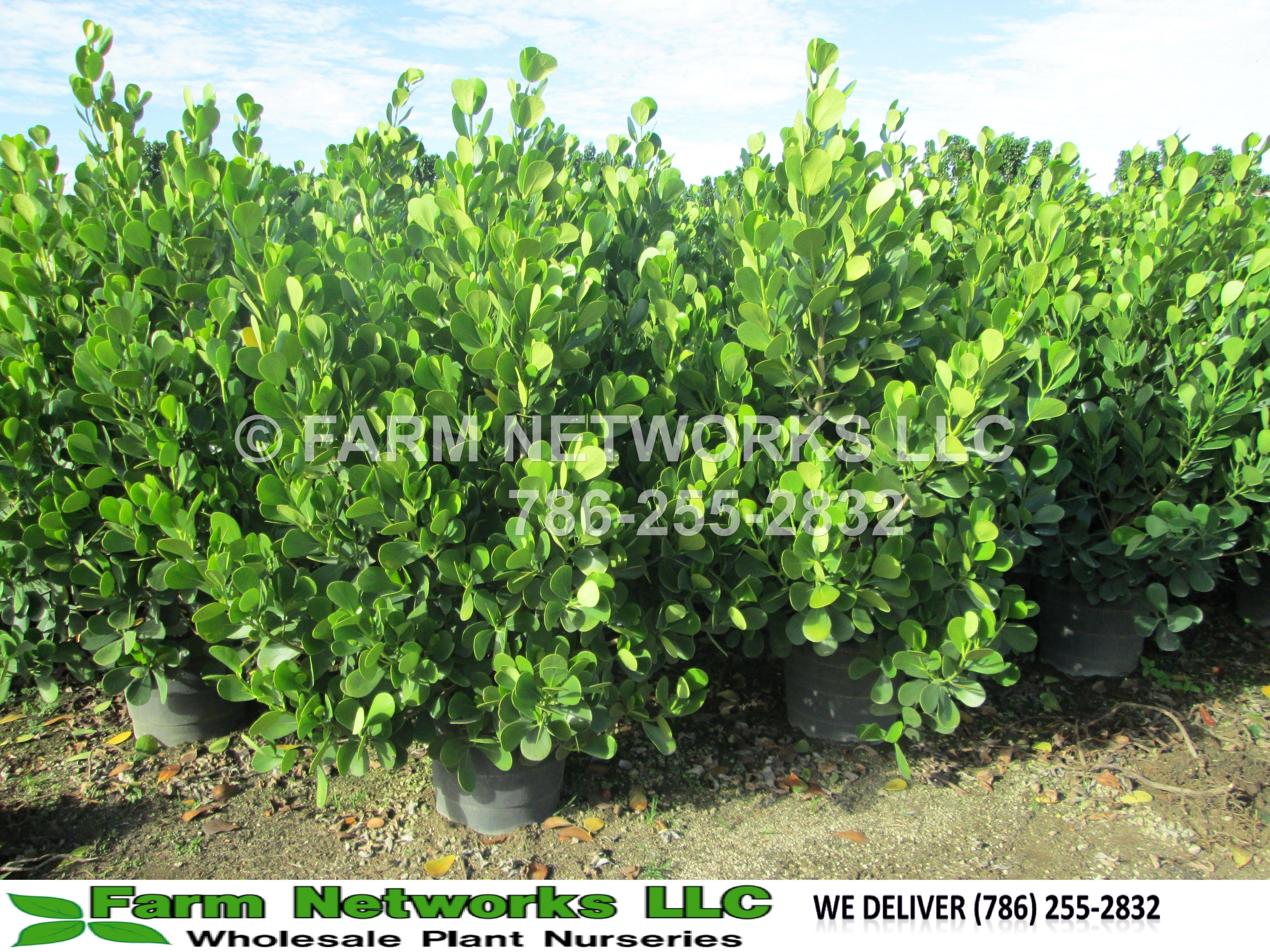miami clusia hedge   Clusia Guttifera Hedge   South Florida Clusia ...