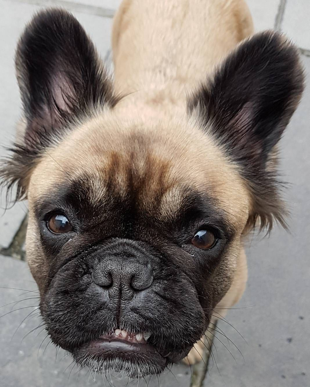 Ahhhh A Face Only A Mother Can Love Mathilda E Fluffy French Bulldog On Instagram French Bulldog Animals Boston Terrier