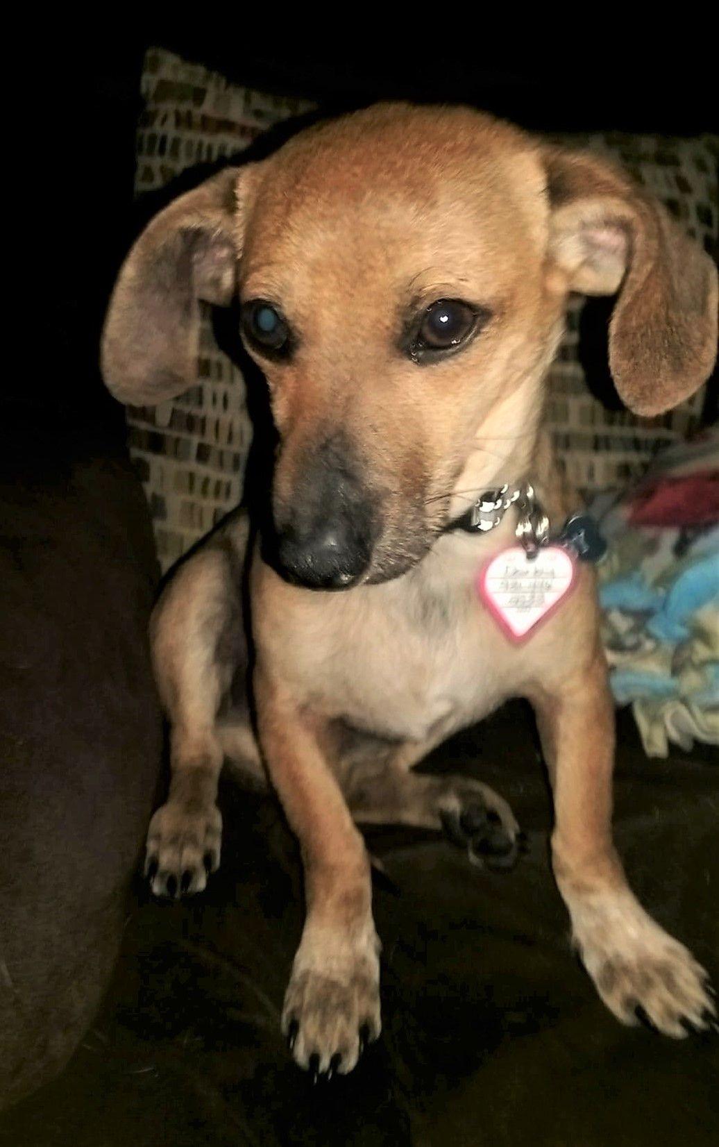 Chiweenie dog for Adoption in Lewisburg, TN. ADN751321 on