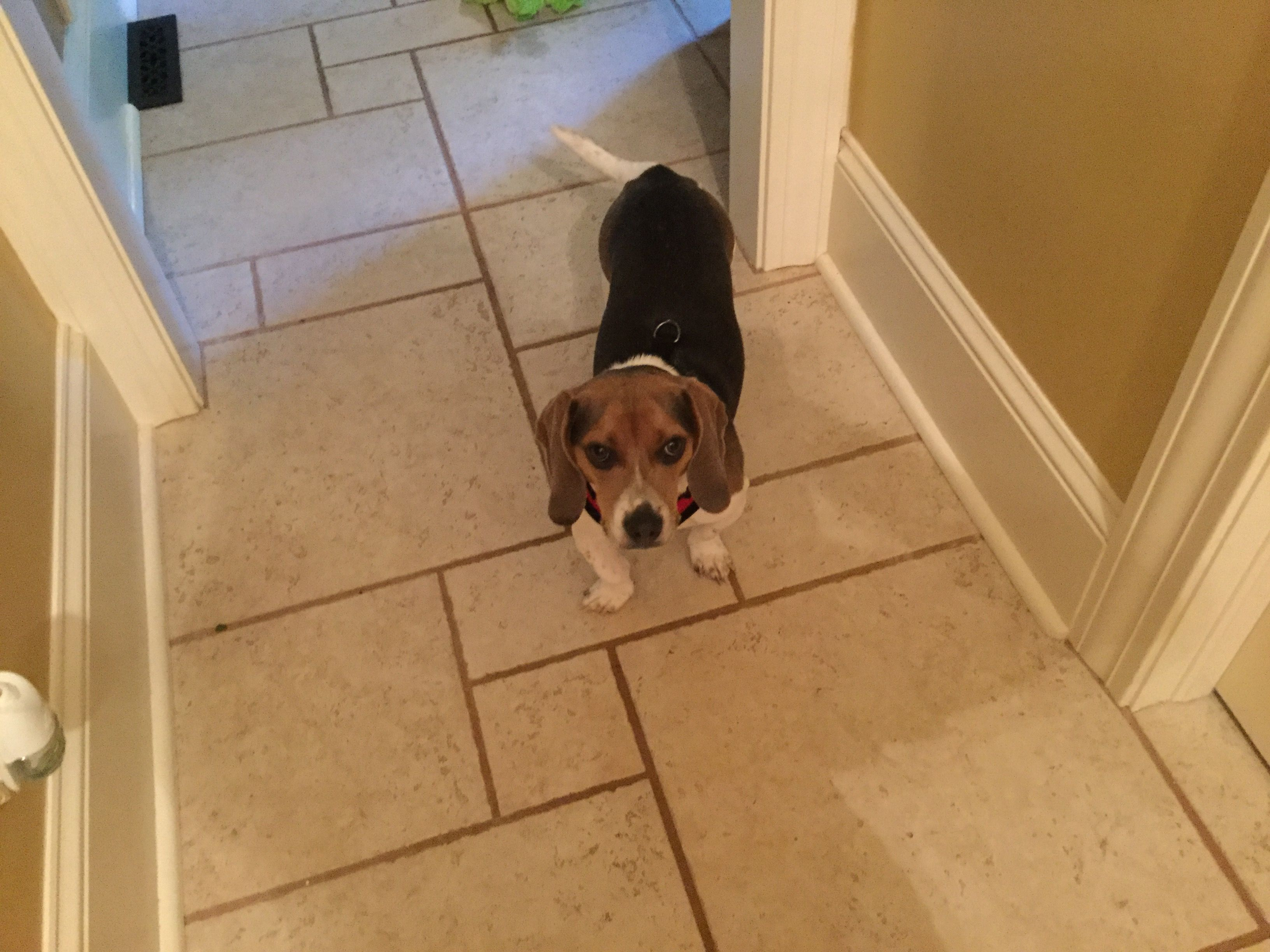 This Is My Puppy Chester He S A Pocket Beagle I Love Him So Much Pocket Beagle I Love Him Puppies