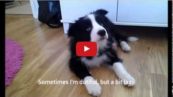 Obedience Training With Zar The Border Collie Puppy Collie