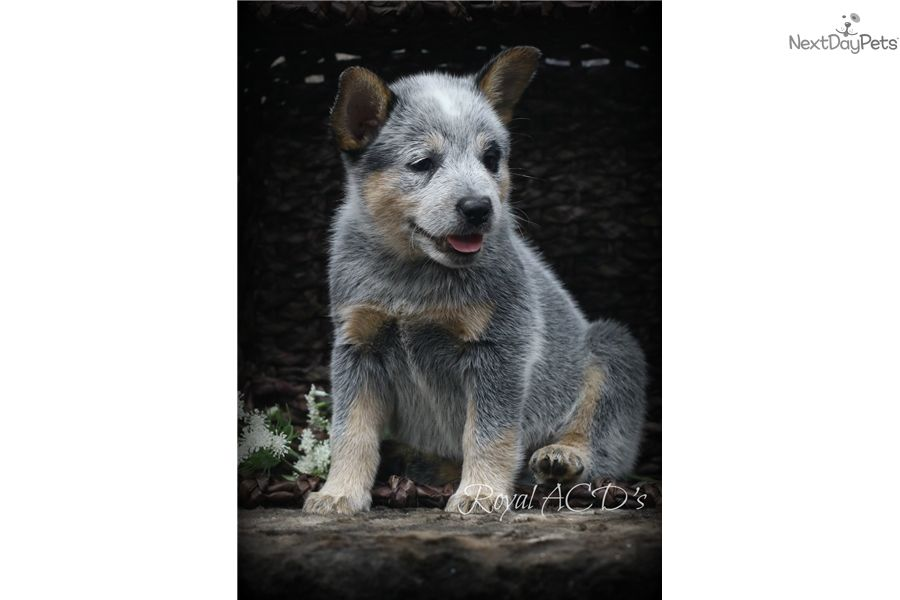 Princess Kali Akc Ch Sire Ch Dam Australian Cattle Dog Blue Heeler Cattle Dog Puppy Cattle Dog
