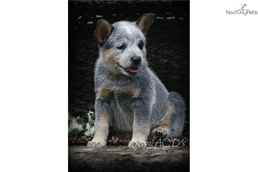 Australian Cattle Dog Blue Heeler Puppy For Sale Near Kansas City
