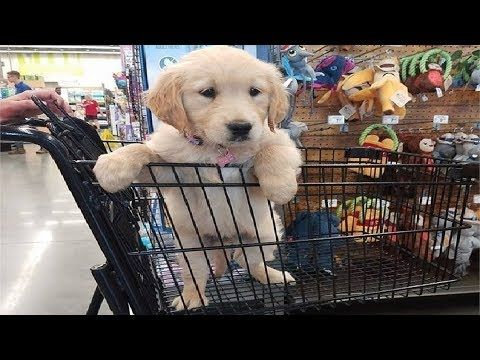 Funny Cute Golden Retriever Puppies 112 Puppy Videos 2018