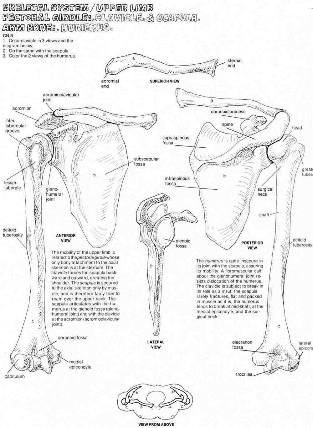 hight resolution of pectoral girdle and humerus labeling google search