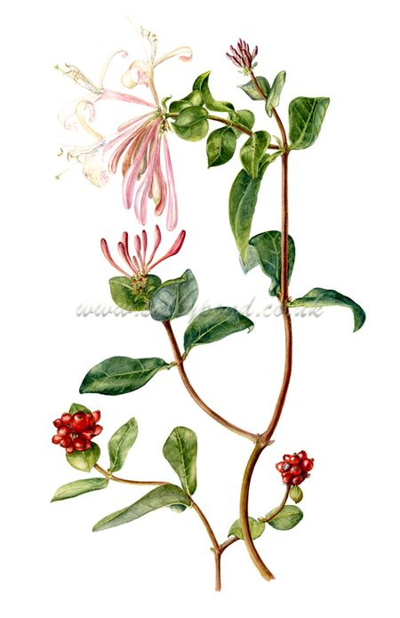 Honeysuckle Flower Line Drawing : Botanical illustration of a branch honeysuckle with red