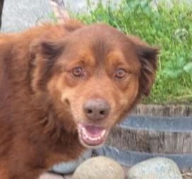 Adopt Missy On Retriever Dog Retriever Mix Chesapeake Bay