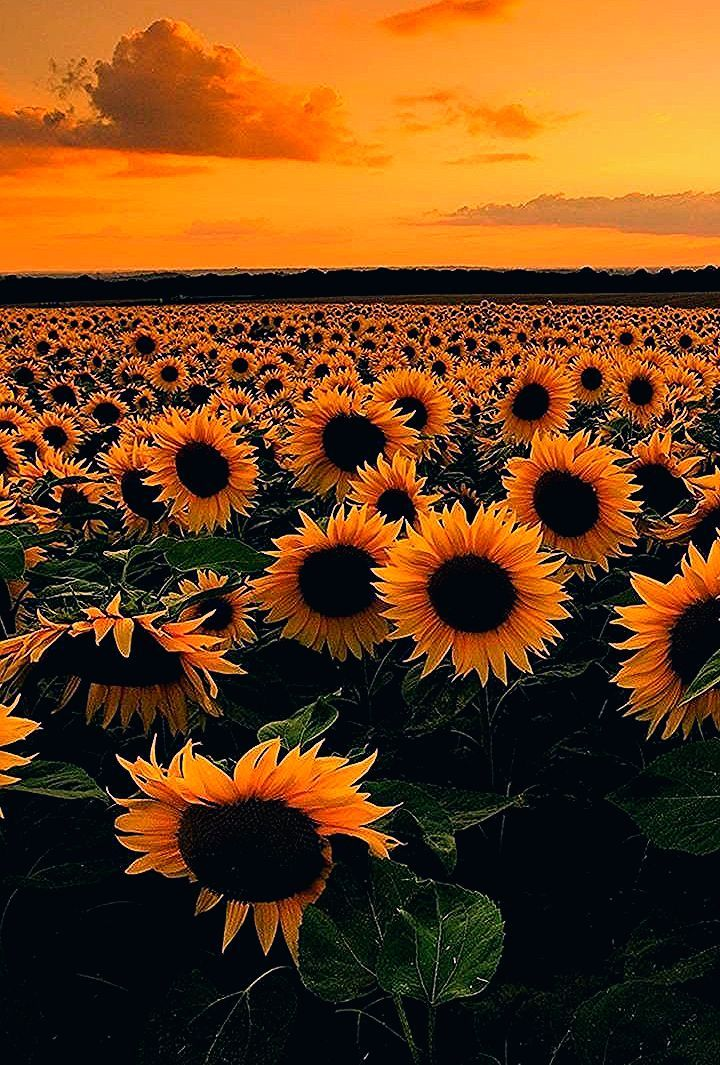 Wildflower Wall Art, Black Eyed Susans Print, Sunshine, Happy, Spring, Summer, Field of Flowers - Tr