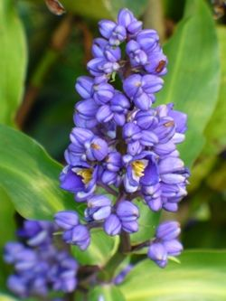 Dichorisandra Thrysiflora Small Blue Ginger With Images Ginger