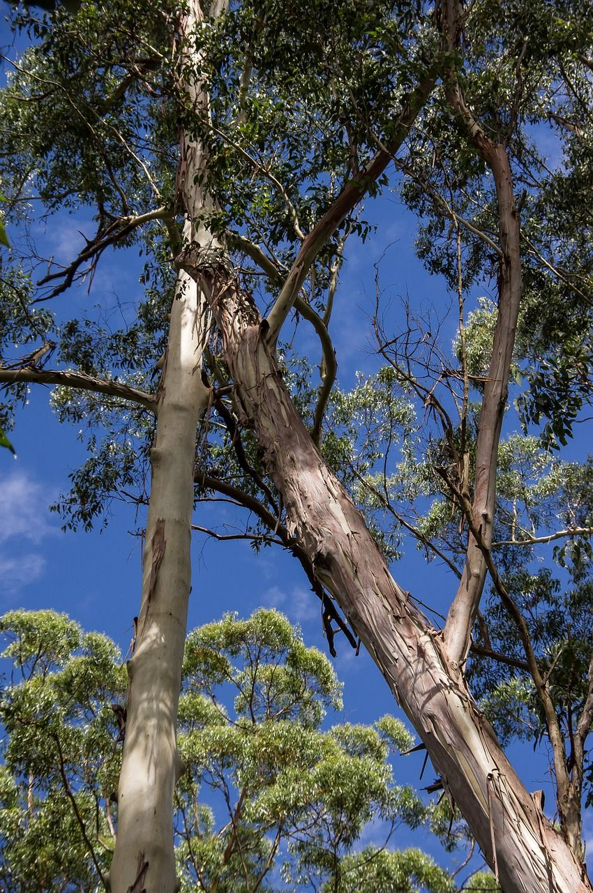 Australia Gum Tree Eucalyptus Grandis Tree Australia