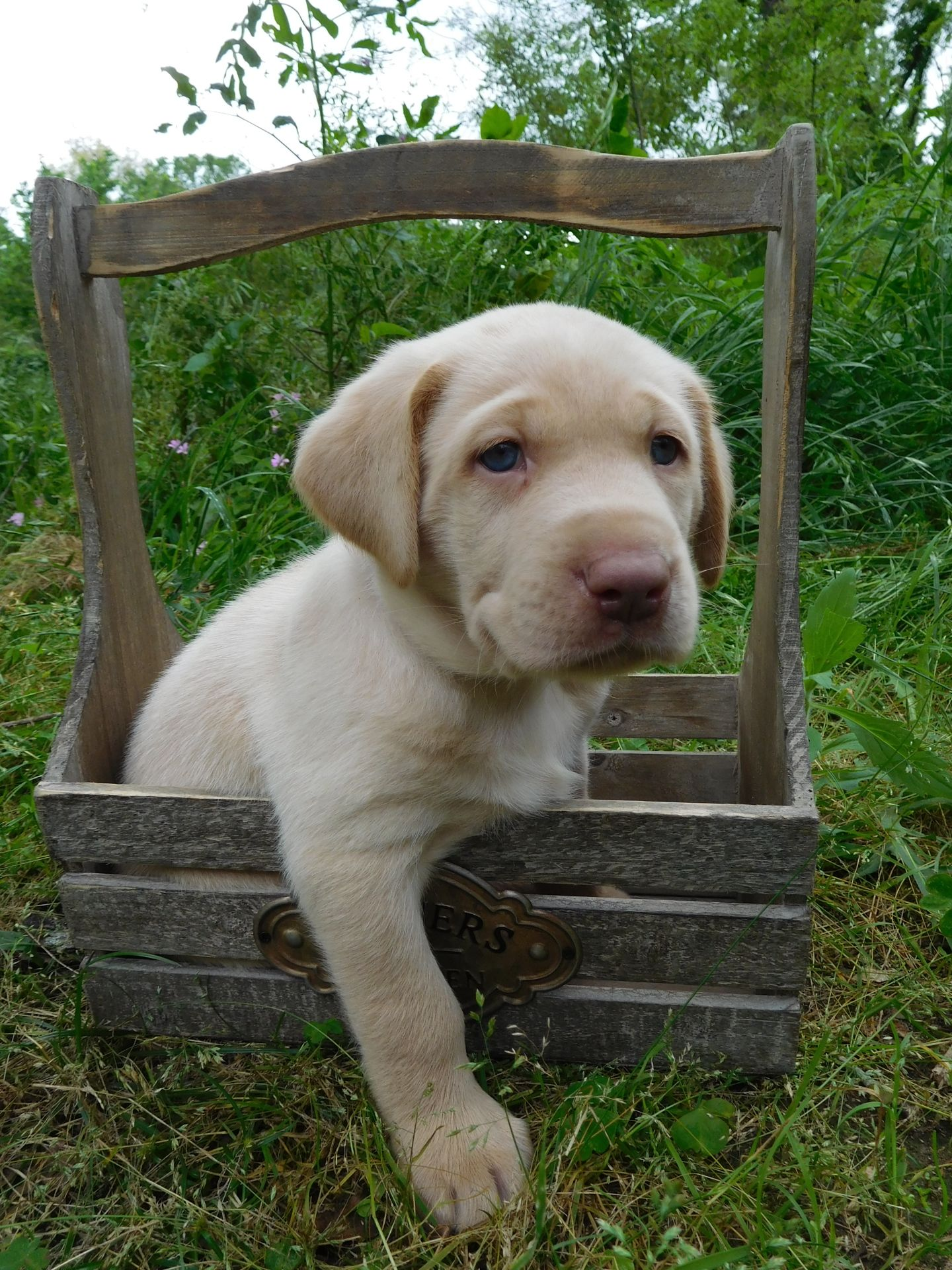 Meet Our Puppies Silver Labrador Puppies For Sale Lab Puppies Puppies