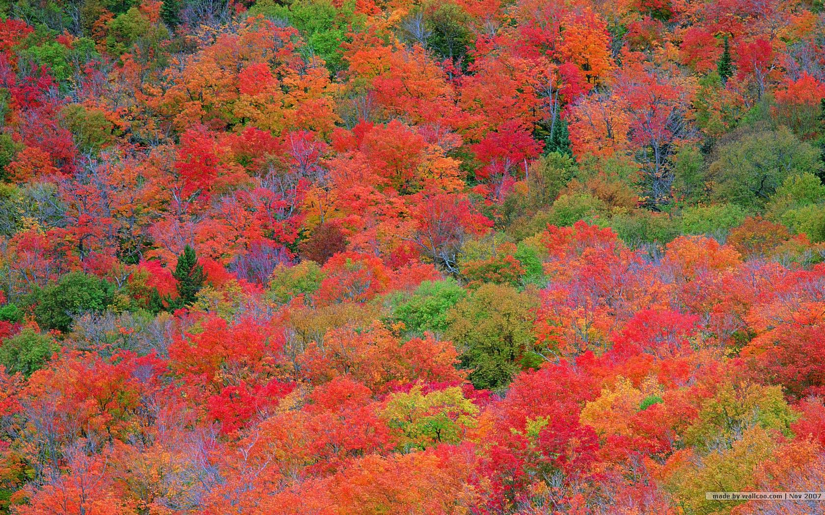 fall foliage wallpaper | fall leaves wallpapers - vivid foliage