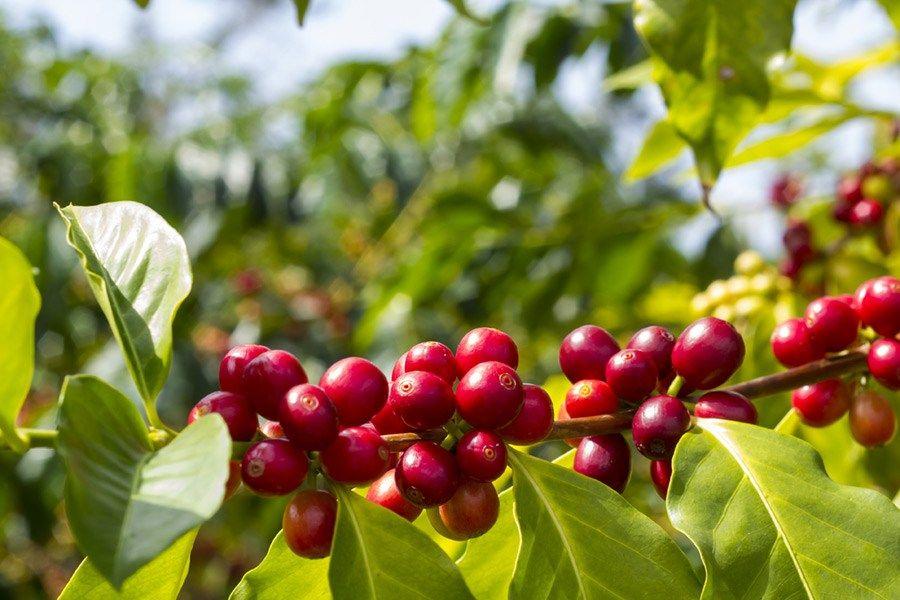 BRAZIL DATERRA SUNFLOWER ESPRESSO Green coffee bean