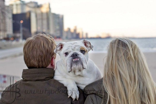 Bulldog Puppy And Owners With Lakeshore Drive Visible In Chicago
