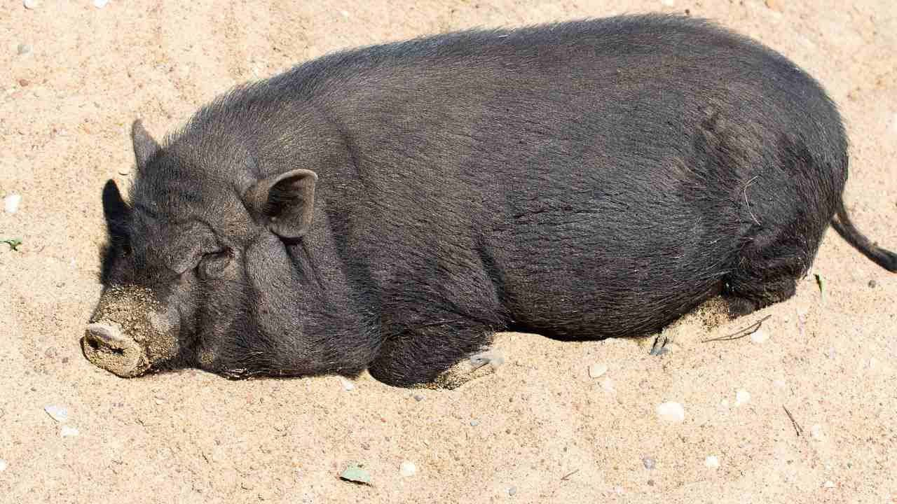 How Big Do Potbellied Pigs Get? | Pet Pigs  Do you know what really happens in your home when you are away?  Now you can. http://bit.ly/1KOBH31  Oink Oink! Perfect Pig Products:  Pot Bellies and Other Miniature Pigs (Complete Pet Owner's Manuals): http://amzn.to/1JVs370 Storey's Guide to Raising Pigs: Care, Facilities, Management, Breed: http://amzn.to/1N2blY4 Potbellied Pig Behavior and Training: http://amzn.to/1GyKkXt Teacup Pigs and Micro Pigs, the Complete Owner's Gu