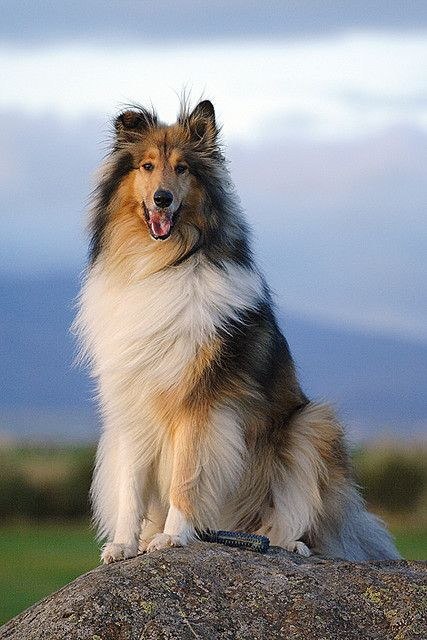 King Cato Collie Puppies Dogs Dog Breeds